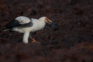 Palm-nut vulture (Gypohierax angolensis) feeding on baby Green turtle (Chelonia mydas) emerging from the nest, Bissagos Islands, Guinea Bissau. 3rd Place in the SOS Especes Menacees / SOS Endangered S... - Pedro  Narra