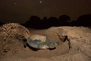 Green turtle (Chelonia mydas) female digging nest on beach at night, Guinea Bissau. Endangered species. 3rd Place in the SOS Especes Menacees / SOS Endangered Species Portfolio category of the Terre S... - Pedro  Narra
