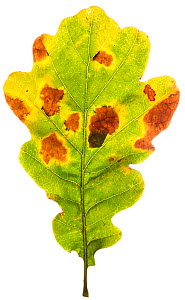 Pedunculate oak (Quercus robur) autumn leaf in the field studio, Angus, Scotland, UK. November (This image may be licensed either as rights managed or royalty free.)  -  MYN / Niall Benvie