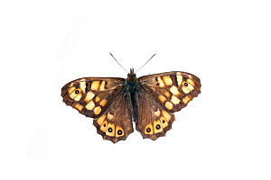 Speckled wood butterfly (Pararge aegeria) France, April.  -  MYN / Niall Benvie