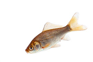 Goldfish (Carassius auratus) introduced species, Burgundy, France, April. - MYN / Niall Benvie