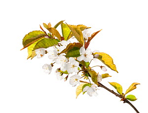 WIld cherry (Prunus avium) in flower, Scotland, UK, May.  -  MYN / Niall Benvie