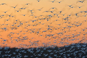 Greater snow geese (Chen caerulescens) taking flight at sunset during migration. Montezuma National Wildlife Rescue, New York, USA. March.  -  Gerrit  Vyn