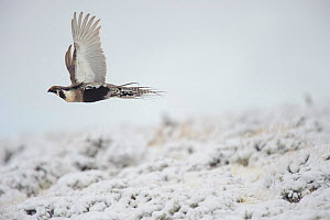 Gunnison sage-grouse (Centrocercus minimus) male in flight over snow. Gunnison County, Colorado, USA, April.  -  Gerrit  Vyn