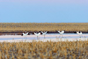 Whooping cranes (Grus americana) taking off during spring migration. Central South Dakota, USA. April. - Gerrit  Vyn