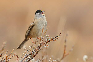 Golden-crowned sparrow (Zonotrichia atricapilla) singing in spring. Seward Peninsula, Alaska, USA. May.  -  Gerrit  Vyn