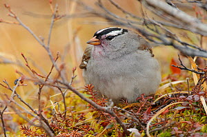 White-crowned sparrow (Zonotrichia leucophrys) foraging on crowberry. Seward Peninsula, Alaska. June.  -  Gerrit  Vyn