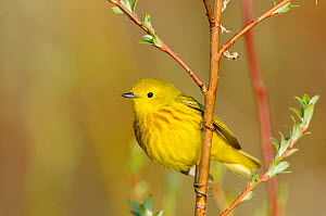 Yellow warbler (Dendroica petechia) male, Seward peninsula, Alaska, USA. June.  -  Gerrit  Vyn