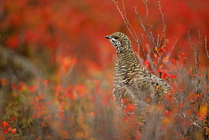 Spruce grouse (Dendragapus fuliginosus) stops while foraging among fall blueberry bushes. Denali National Park, Alaska, USA.  -  Gerrit  Vyn