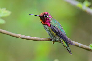 Anna's hummingbird (Calypte anna) male, King County, Washington, USA. May.  -  Gerrit  Vyn