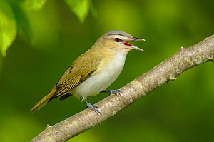 Red-eyed vireo (Vireo olivaceus) singing. Tompkins County, New York. May.  -  Gerrit  Vyn