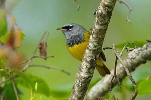 MacGillivray's warbler (Oporornis tolmiei) perched, Pend Oreille County, Washington. May.  -  Gerrit  Vyn