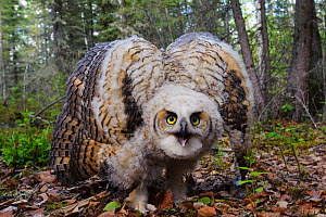 Great horned owl (Bubo virginianus) in defensive posture. Alberta, Canada. May.  -  Gerrit  Vyn