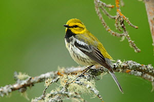 Black-throated green warbler (Dendroica virens) in breeding plumage. Alberta, Canada. June.  -  Gerrit  Vyn