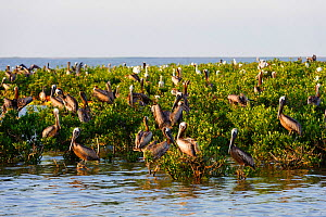 Brown pelicans (Pelecanus occidentalis) and Great egrets (Ardea alba) roosting on mangroves in a Barataria Bay nesting colony. This colony was heavily oiled by the BP Deepwater Horizon oil leak.  Plaq... - Gerrit  Vyn