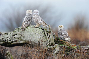 Three Snowy owls (Bubo scandiacus) perched on driftwood after a night of hunting. Vancouver, British Columbia. January.  -  Gerrit  Vyn