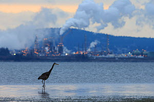 Great blue heron (Ardea herodias) hunts the shallows of a tidal estuary near an oil refinery. Padilla Bay, Washington, USA. February.  -  Gerrit  Vyn
