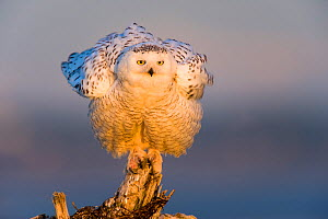 Snowy Owl (Bubo scandiacus) fluffing feathers, this image was taken during a massive increase in the range and population of snowy owls. Boundary Bay, Canada. March.  -  Gerrit  Vyn
