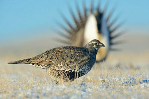 Greater sage-grouse (Centrocercus urophasianus) walking across a snow covered lek. Sublette County, Wyoming. March.  -  Gerrit  Vyn
