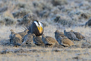 Greater sage-grouse (Centrocercus urophasianus) gathered in the center of a lek as the dominant male displays. Sublette County, Wyoming. March.  -  Gerrit  Vyn