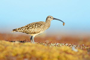 Bristle-thighed curlew (Numenius tahitiensis) on coastal tundra feeding on woolly bear caterpillar pupa. The curlew locates the cocoons by sight and shakes them until the pupa fall out.. Yukon Delta N... - Gerrit  Vyn