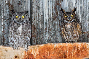 Great horned owls (Bubo virginianus) roosting in an abandoned barn. Idaho, USA. February. - Gerrit  Vyn