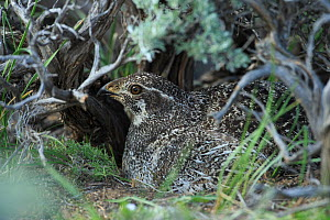 Female Greater sage-grouse (Centrocercus urophasianus) incubating nest under a sage bush canopy. Sublette County, Wyoming, USA. May.  -  Gerrit  Vyn