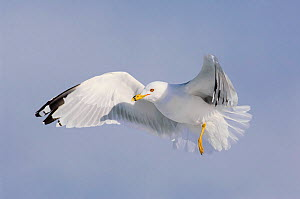 Ring-billed gull (Larus dalewarensis) in breeding plumage in flight. Ontario County, New York, USA. February. - Gerrit  Vyn