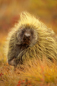 Porcupine (Erethizon dorsatum) on tundra. North Slope, Alaska, USA. September.  -  Gerrit  Vyn