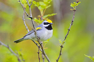 Golden-winged warbler (Vermivora chrysoptera) perched, St. Lawrence County, New York. May.  -  Gerrit  Vyn