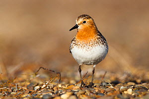Red-necked stint (Calidris ruficollis) on its Russian breeding grounds. Chukotka, Russia. June. - Gerrit  Vyn