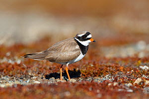 Common ringed plover (Charadrius hiaticula) on its breeding grounds in Russia. Chukotka, Russia. June.  -  Gerrit  Vyn