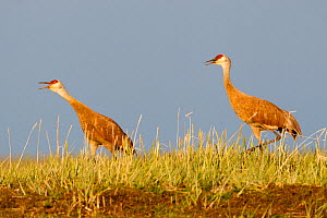 Pair of  Lesser sandhill canes (Grus canadensis canadensis) courting on the breeding grounds in Russia. Chukotka, Russia. July.  -  Gerrit  Vyn
