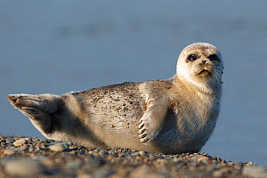 Spotted seal (Phoca largha) pup resting on a the gravel beach of the Bering Sea. Chukotka, Russia. July.  -  Gerrit  Vyn
