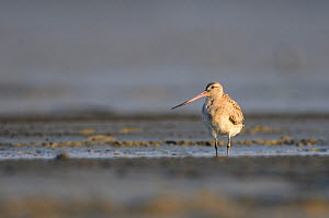 Bar-tailed godwit (Limosa lapponica) in basic plumage on coastal mudflats during its long distance migration. Rakhine State, Myanmar. January.  -  Gerrit  Vyn