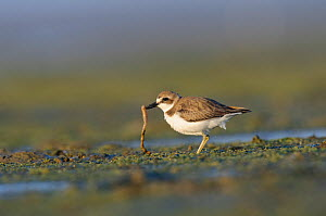 Greater sand plover (Charadrius leschenaultii) in winter plumage with worm prey. Rakhine State, Myanmar. January.  -  Gerrit  Vyn