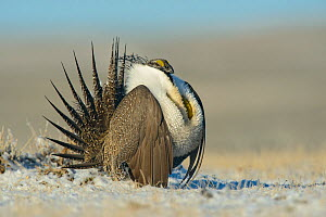 Greater sage-grouse (Centrocercus urophasianus) male displaying on a lek in snow, Sublette County, Wyoming, USA. April.  -  Gerrit  Vyn