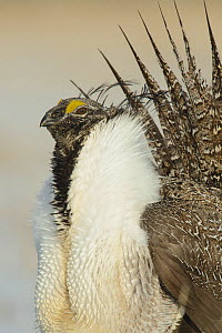 Greater sage-grouse (Centrocercus urophasianus) male displaying on a lek in spring. Sublette County, Wyoming, USA. April.  -  Gerrit  Vyn