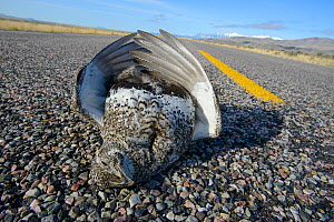 Greater Sage-grouse (Centrocercus urophasianus) roadkill on road, Sublette County, Wyoming. March. - Gerrit  Vyn