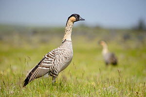 Nene / Hawaiian goose (Branta sandvicensis) Hawaii. April. Vulnerable species.  -  Gerrit  Vyn