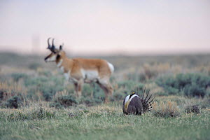 Pronghorn (Antilocapra americana) on a Greater sage-grouse lek (Centrocercus urophasianus) on the Pinedale Mesa Anticline. Sublette County, Wyoming, USA. June.  -  Gerrit  Vyn