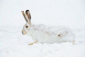 White-tailed jackrabbit (Lepus townsendii) camouflaged in its winter coat. Sweetwater County, Wyoming, USA, January. - Gerrit  Vyn