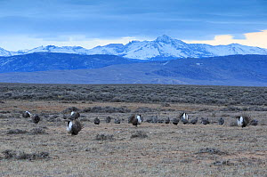 Greater sage-grouse (Centrocercus urophasianus) males displaying at lek in spring. Sublette County, Wyoming, USA. April.  -  Gerrit  Vyn