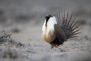 Greater sage-grouse (Centrocercus urophasianus) male displaying at lek in spring. Sublette County, Wyoming, USA. April.  -  Gerrit  Vyn