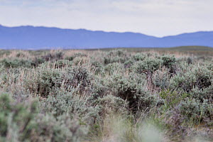 Greater sage-grouse (Centrocercus urophasianus) female hidden in sage landscape. Sublette County, Wyoming. June.  -  Gerrit  Vyn