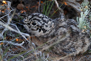 Greater sage-grouse (Centrocercus urophasianus) chick hidden under sage bush. Sublette County, Wyoming, USA. June.  -  Gerrit  Vyn