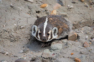 American badger (Taxidea taxus) emerging from a burrow. Sublette County, Wyoming, USA. July.  -  Gerrit  Vyn