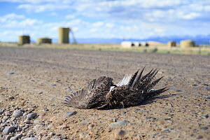 Greater sage-grouse (Centrocercus urophasianus) roadkill, Pinedale Mesa Anticline natural gas development. Sublette County, Wyoming, USA, June. - Gerrit  Vyn