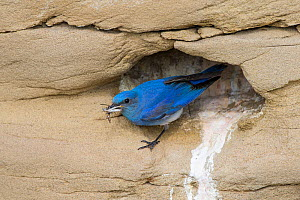 Mountain bluebird (Sialia currucoides) at nest cavity with prey. Sublette County, Wyoming, USA. June.  -  Gerrit  Vyn