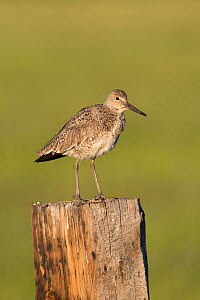 Willet (Tringa semipalmata) on fence post. Sublette County, Wyoming. June. - Gerrit  Vyn